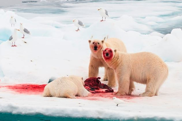 Climate Change Not Killing Polar Bears Fast Enough