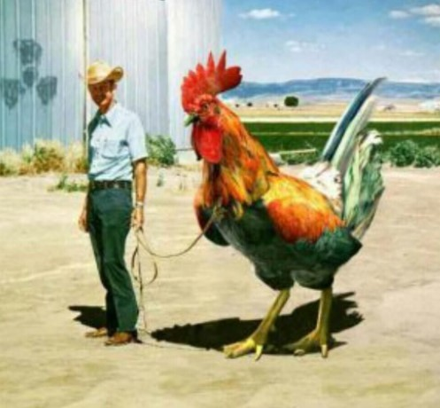 big-rooster